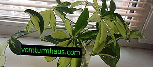 Schefflera Blume häusliche Pflege