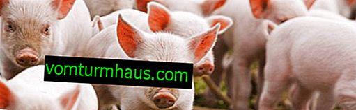 Класична чума свиней