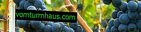 Uvas Pinot: variedades de variedades y descripción