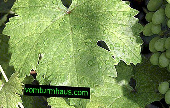 "Sorta grožđa ""Lowland"": opis i fotografija"