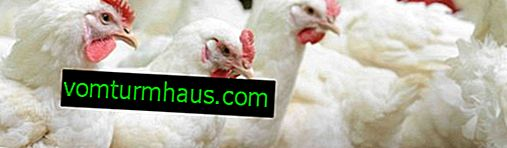 Why broilers fall to their feet and what should be done