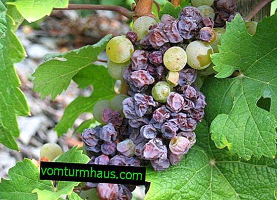 Üzüm meyveleri neden bir çalının üzerinde soluyor?
