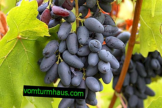 Hrozny v paměti Negrul: Popis odrůdy