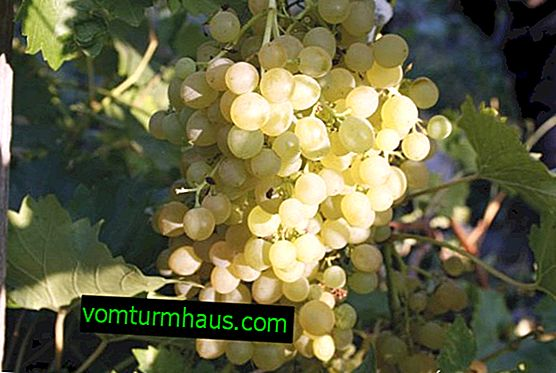 Augustinové hrozny: popis a vlastnosti pěstovaných odrůd