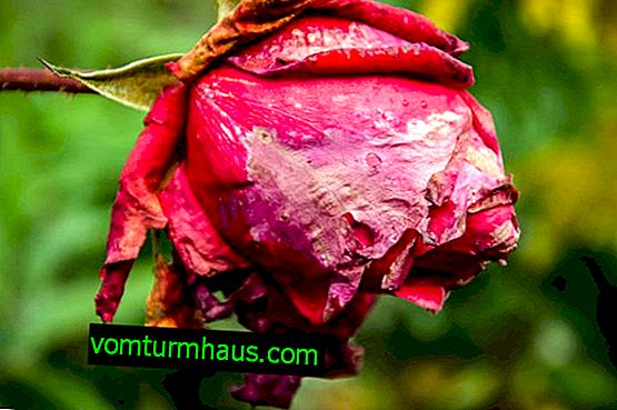 How to restore wilted roses at home