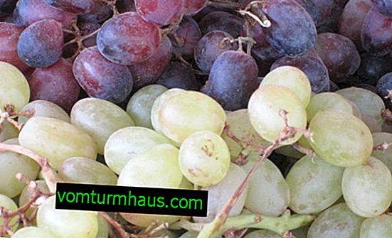 Kishmish druvor: fördelar och skador, kalorier