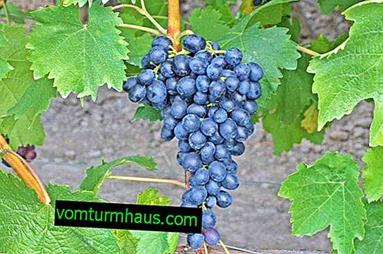 Winogrona Attica Kishmish: opis i charakterystyka odmiany