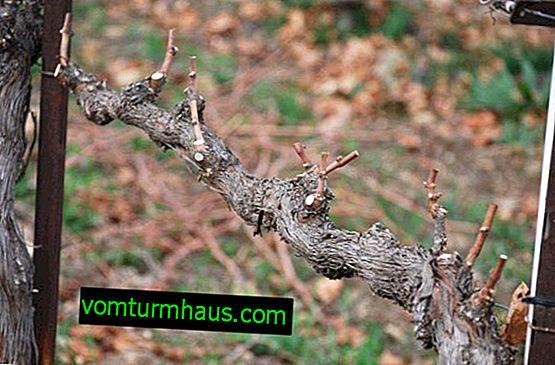 Pravilno obrezivanje grožđa u proljeće
