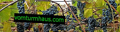 Rociar uvas con bicarbonato de sodio
