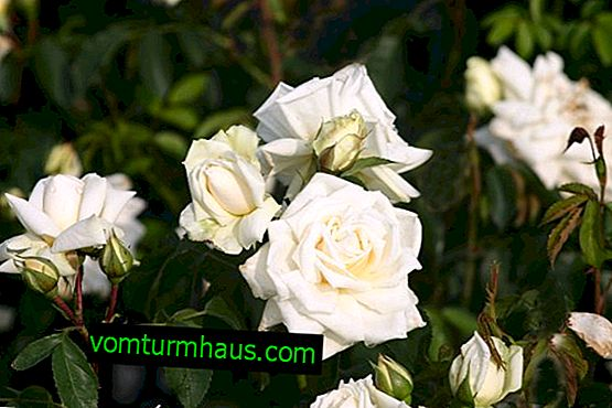 The best varieties of roses of Cordes and their cultivation