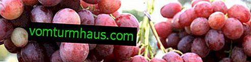 """Odmiana winogron """"Anyuta"""": charakterystyka, tajemnice uprawy"""