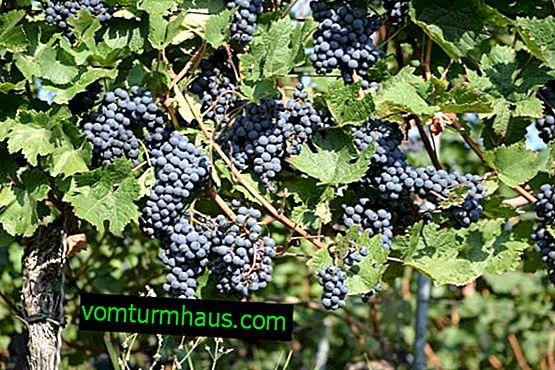"""Sorta grozdja """"Strashenski"""""""