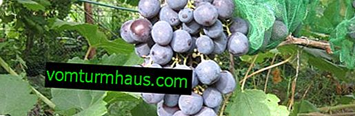 Grape variety Rofshore