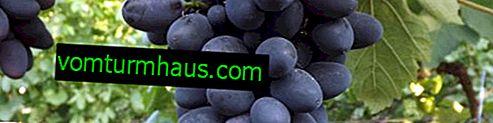"""Variedad de uva """"Hope AZOS"""": descripción y foto"""