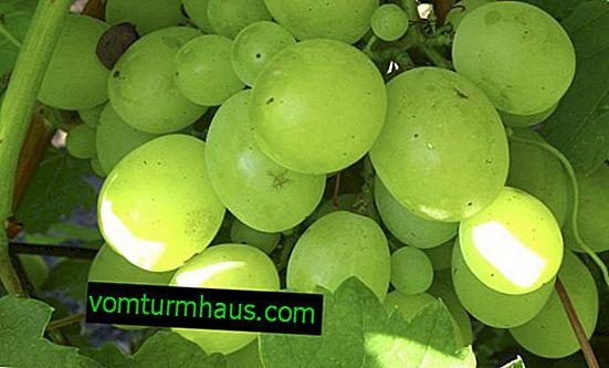 Кеша грозде: описание и отглеждане на сорта