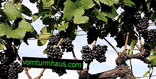Kako presaditi grozdje?