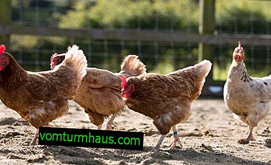 Sådan behandles orme hos kyllinger