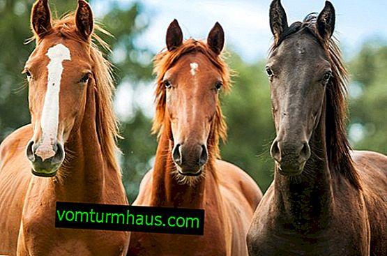 Enfermedades de los caballos y su tratamiento.