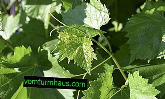 Alešinkin grožđe: opis sorte, značajke uzgoja i njege