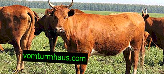 Red steppe breed of cows: description, care and feeding