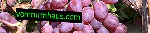 """Sorta grozdja """"Victoria"""": opis in nega"""