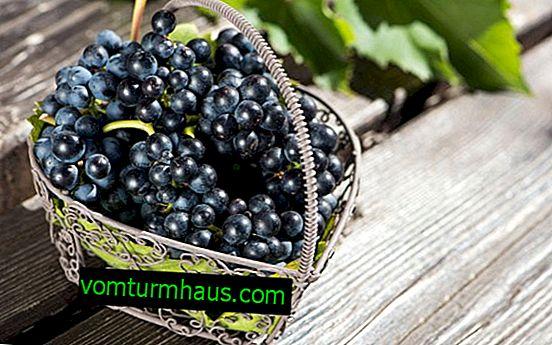 Vsebnost kalorij, koristi in škode črnega grozdja
