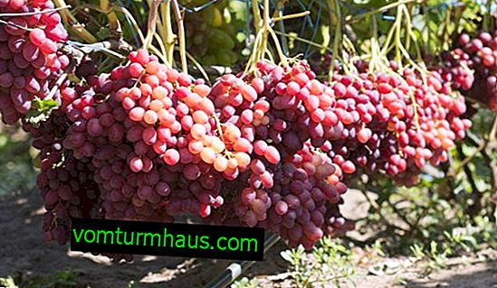 "Grape variety of raisin ""Veles"""