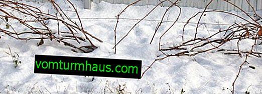 Hvordan man beskytter druer til vinteren i Sibirien