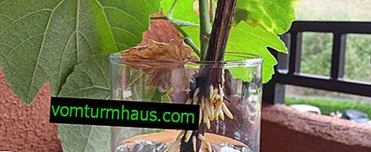 Hur man odlar druvor från sticklingar