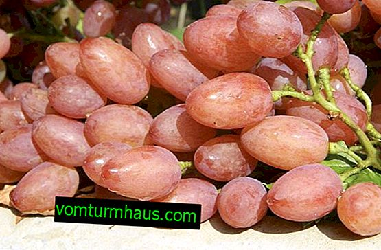 "Grape Variety ""Kishmish Radiant"""