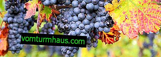 Hur skyddar man druvor från getingar?