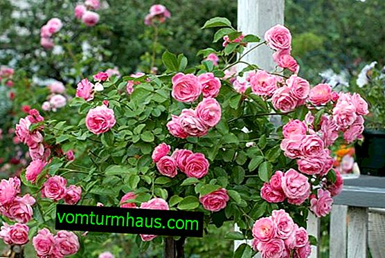 How to plant and grow a standard rose yourself?