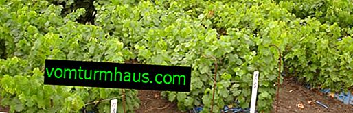 Kdy je nejlepší pěstovat hrozny?