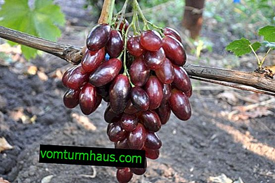 Sorta grožđa Asya: fotografija i opis, tajne uzgoja