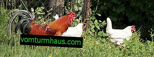 Combien de poulets devrait être par coq