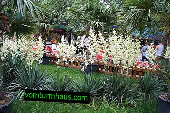 Yucca filamentous: planting and care in the open ground