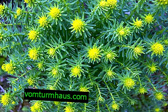 Cypress Euphorbia: planting and care