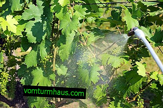 Как можете да пръскате грозде през есента от вредители и болести?