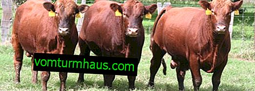 Aberdeen-Angus cattle breed: description, care and feeding