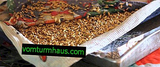 Kako kaliti pšenico za piščance doma