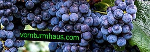Как да си направим тинктура от грозде Изабела
