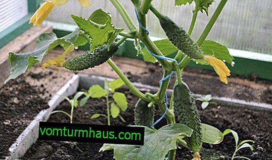 Pepinos en un invernadero deformado: determinación y eliminación de causas