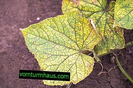 Kaj storiti, če listi kumare v rastlinjaku porumenijo?