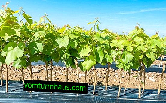 How to store grape seedlings until spring?
