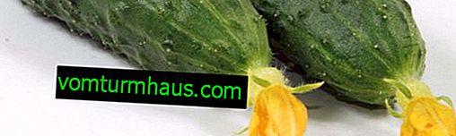 Sådan fodres agurker korrekt med gær