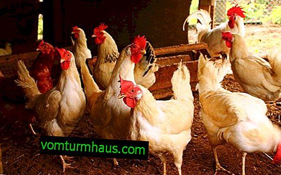 Wie in einem Hühnerstall zu desinfizieren
