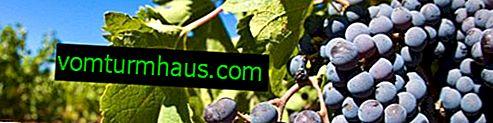 Sorta grožđa Moldavija