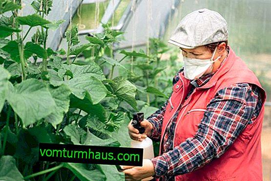 Hur man matar gurkor i växthuset under fruktan
