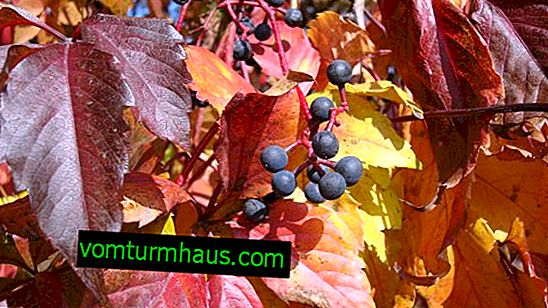 Girl's grapes in autumn: planting, preparation for winter and care