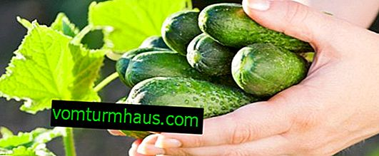 What to do to prolong the fruiting of cucumbers?